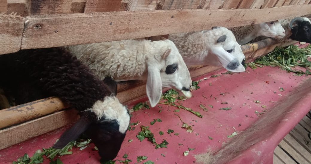 Tebar Hewan Kurban Dompet Dhuafa, upaya bangkitkan perekonomian peternak lokal